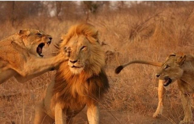 Lioness Anger